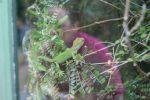 New Zealand Gecko