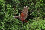 North Island Kaka In Flight