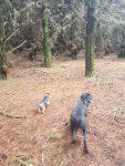 Chasing pheasant